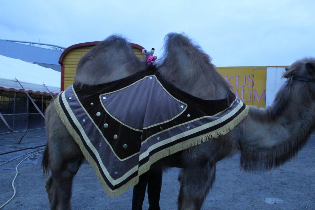 Villevalla rida kamel