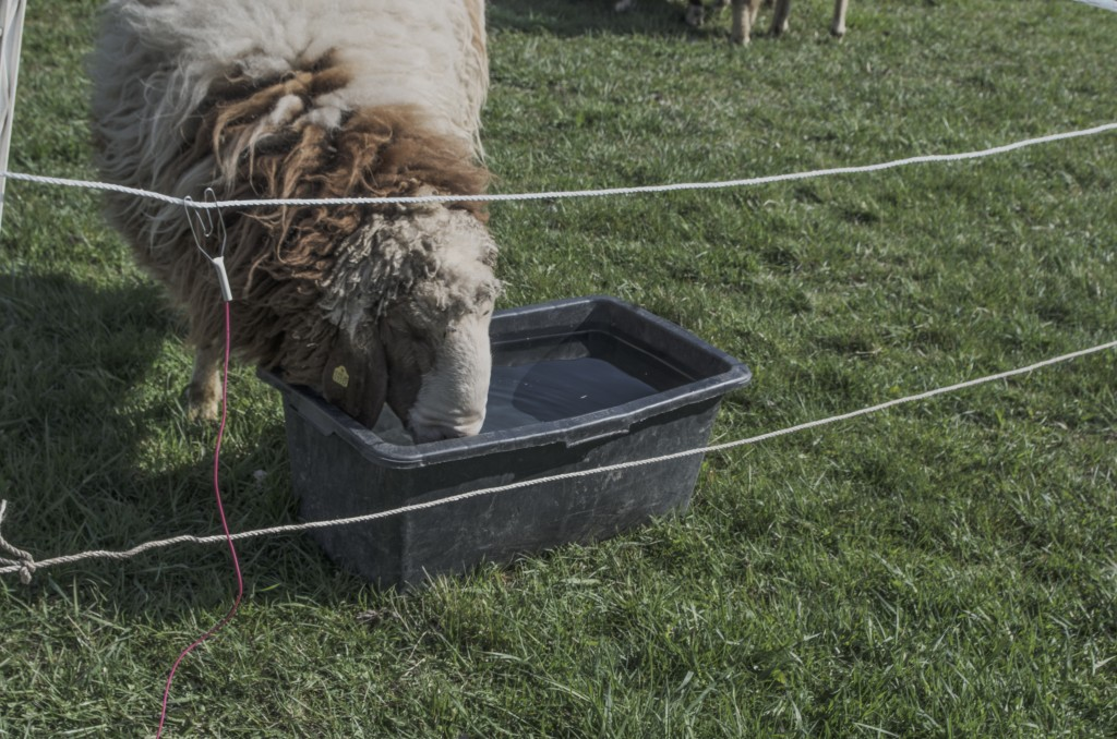 Drickande får