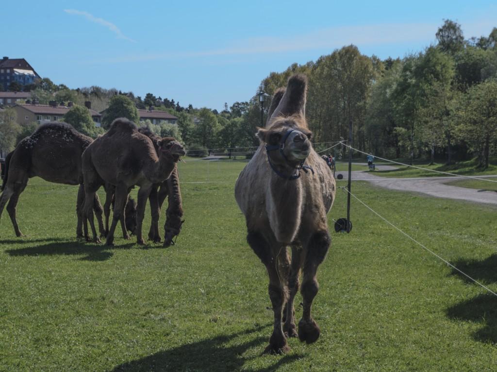 Kamel kommer mot mig